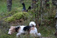 Koer Saru metsas (Heli Sootak)